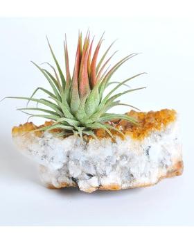 צמח אוויר על קריסטל