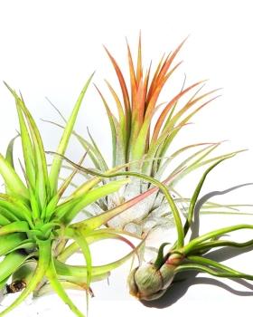 צמחי אוויר למכירה