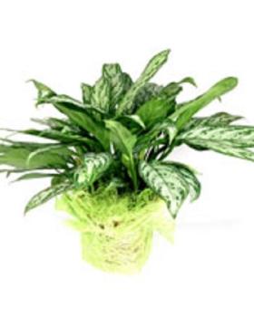 צמח האנגלונמה